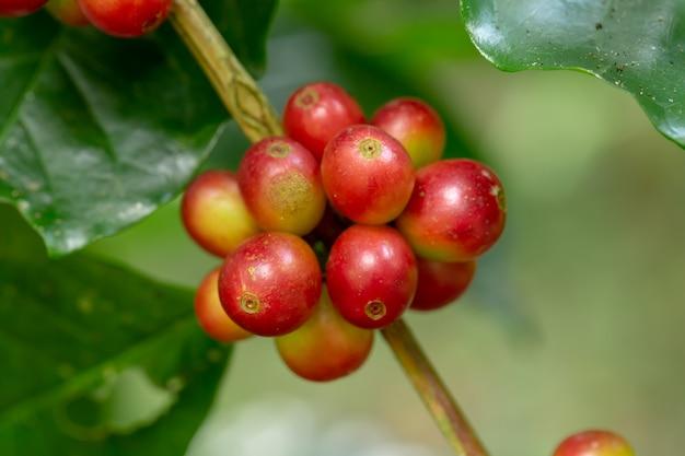 Feijões de café frescos da goma-arábica que amadurecem na árvore no norte de tailândia