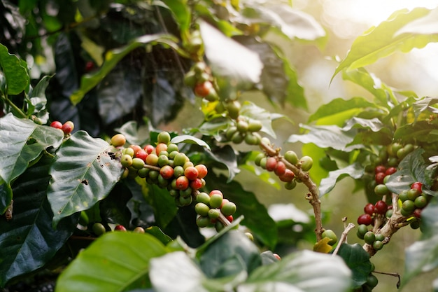 Feijões de café frescos em árvores do grupo.