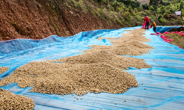 Feijões de café secos no chão e fazendeiro de negócios locais em doi chang no chiang rai tailândia