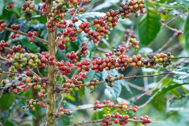 Feijões de café vermelhos na árvore.