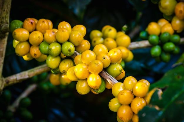 Feijões e folhas de café crus na estação da chuva na área agrícola chiang rai tailândia