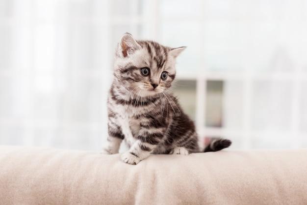 Felino minúsculo. curioso gatinho scottish fold olhando para longe enquanto está sentado dentro de casa