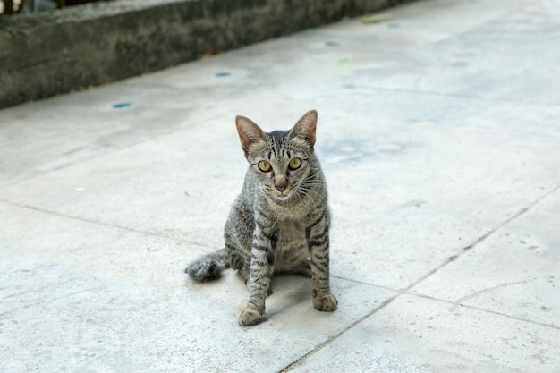 Felis cinza fofos ou gatos brincando no chão