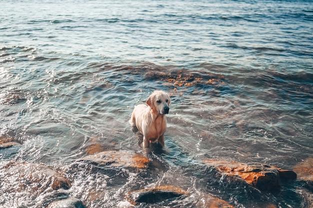 Feliz alegre golden retriever nadando, correndo, pulando, joga com água na costa do mar no verão.