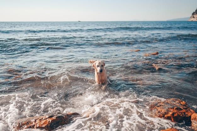 Feliz alegre golden retriever nadando, correndo, pulando, jogando com a água na costa do mar no verão