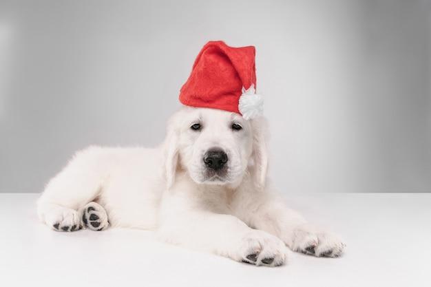 Feliz ano novo. golden retriever de creme inglês. cachorrinho brincalhão fofo ou animal de estimação parece fofo na parede branca. conceito de movimento, ação, movimento, amor de cães e animais de estimação. vestindo roupas de papai noel para 2020.