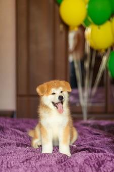 Feliz cachorrinho de akita inu comemora sua adoção em uma nova família.