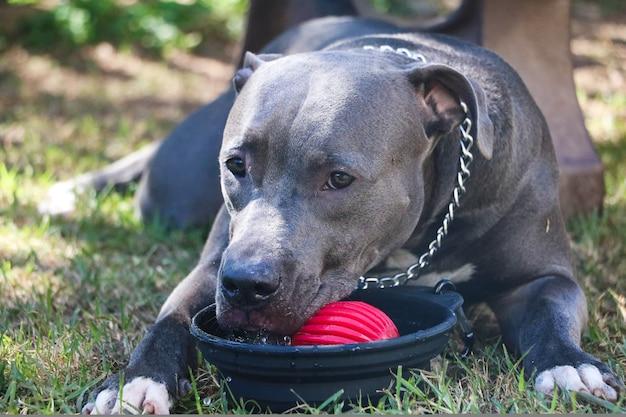 Feliz cachorro pit bull bebendo água da torneira no parque depois de jogar. foco seletivo.