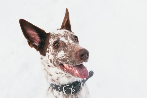 Feliz cão branco-marrom no colarinho no campo nevado na floresta de inverno