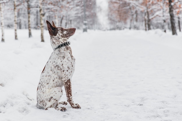 Feliz cão branco-marrom no colarinho sentado no campo nevado na floresta de inverno