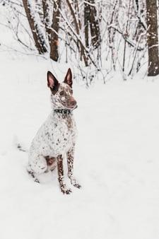 Feliz cão branco-marrom no colarinho sentado no campo nevado no inverno