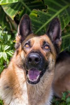 Feliz curioso olha para cima, cão pastor alemão, espaço de cópia isolado.