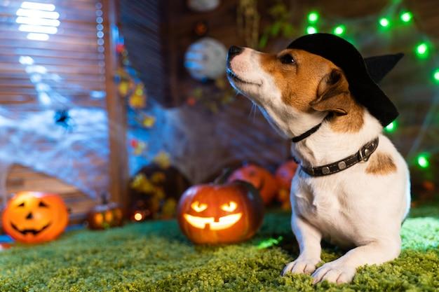 Feliz dia das bruxas. cachorro pet jack russell terrier em traje e no fundo de abóboras lanternas de fumaça esqueletos para o halloween assustador