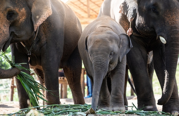Feliz, família elefantes