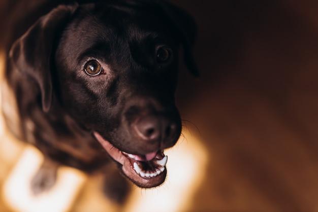 Feliz labrador marrom