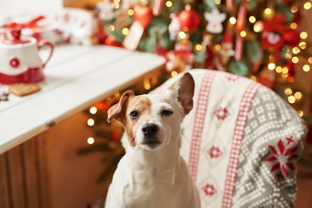 Feliz natal. o cão jack russell terrier na casa decorada com árvore e presentes de natal deseja o feriado e a véspera de natal felizes. modelo de cartão postal e calendário. cão de natal jack russell terrier