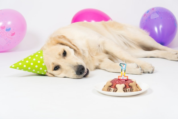 Feliz sorridente cachorro retriever dourado com chapéu de aniversário e bolo de carne.