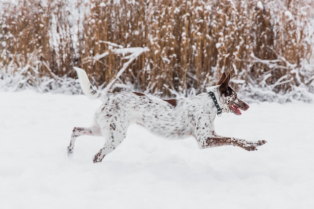 Feliz, white-brown, cão, em, colarinho, executando, ligado, nevado, campo, em, inverno