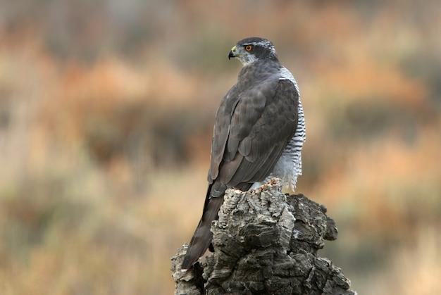 Fêmea adulta açor-do-norte em tronco de sobreiro com as últimas luzes de um dia de outono em uma floresta de carvalhos, pinheiros e sobreiros