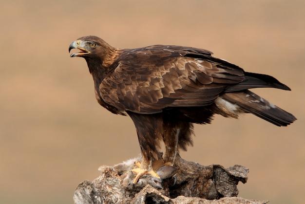 Fêmea adulta águia dourada à primeira luz do dia