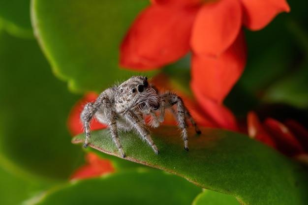 Fêmea adulta aranha saltadora da espécie megafreya sutrix em uma planta flaming katy da espécie kalanchoe blossfeldiana
