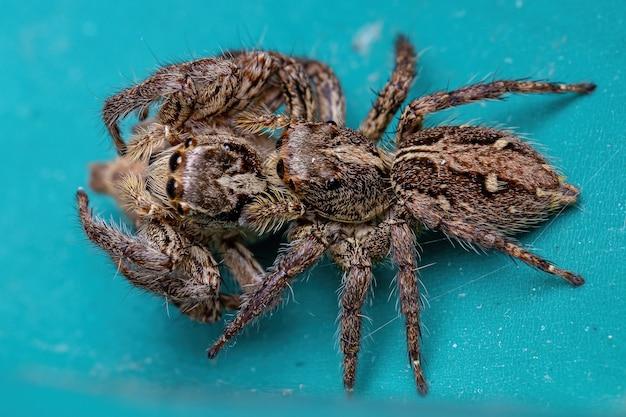 Fêmea adulta aranha saltadora pantropical da espécie plexippus paykulli praticando canibalismo