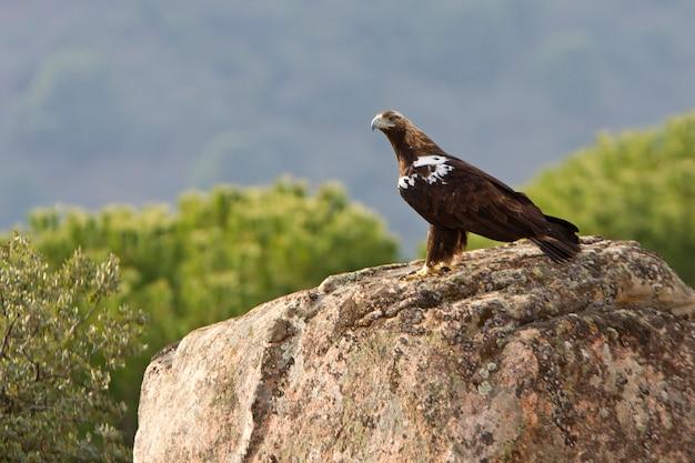 Fêmea adulta da águia imperial espanhola, aquila adalberti