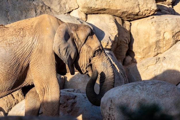 Fêmea africana do elefante do savana que joga com seu tronco, africana do loxodonta.