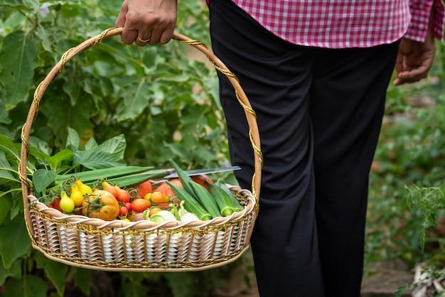 Fêmea colhida legumes orgânicos na fazenda, colhidos temporada legumes