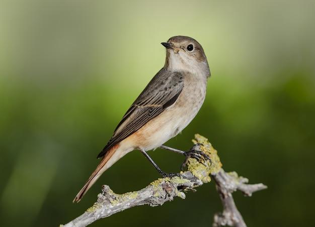 Fêmea comum redstart phoenicurus phoenicurus, malta, mediterrâneo,