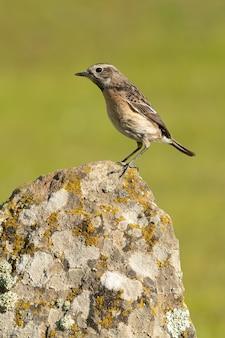 Fêmea de chapéu de pedra comum à primeira luz do amanhecer com plumagem no cio