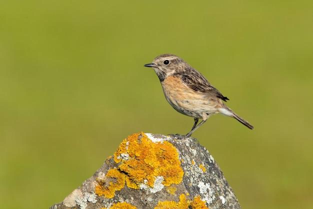 Fêmea de chapéu de pedra comum com a plumagem da época de acasalamento com as últimas luzes da tarde