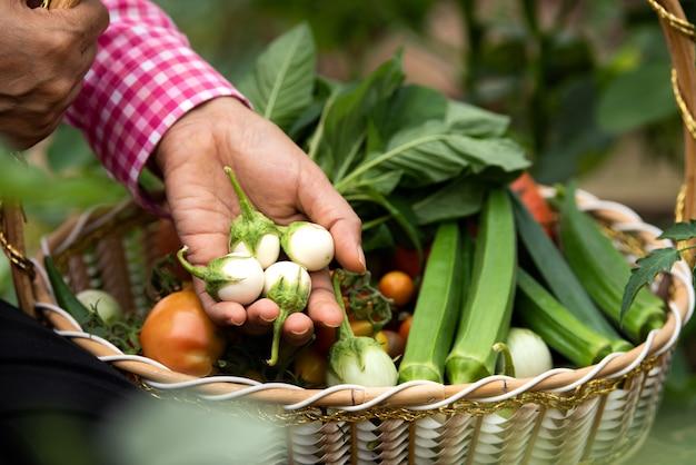 Fêmea de colheita de berinjela e vegetais diferentes orgânicos na fazenda