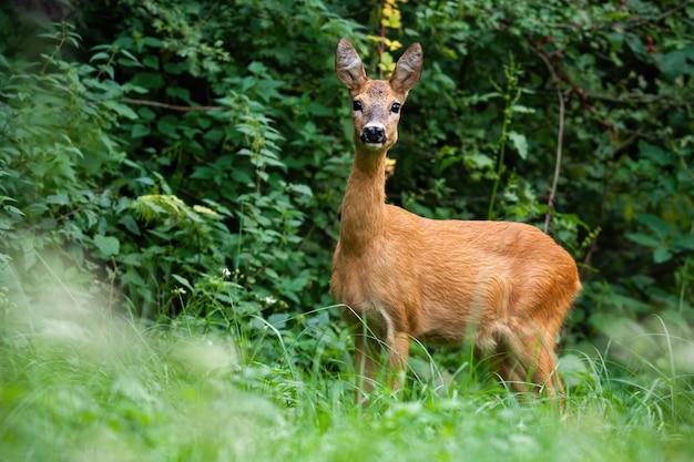 Fêmea de corça com orelhas grandes em pé concentrado no prado gramado