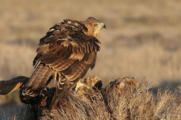Fêmea de dois anos da águia de bonelli