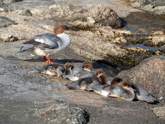 Fêmea de ganso (mergus merganser) com filhotes se aquece nas rochas à beira do rio em um dia ensolarado de verão