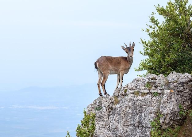 Fêmea de ibex espanhol (capra pyrenaica) na natureza, parque natural e portos