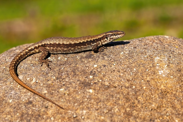Fêmea de lagarto verde europeu se aquecendo na pedra sob o sol de verão