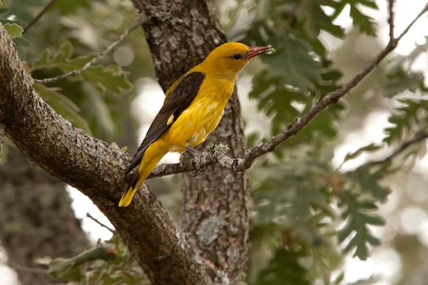 Fêmea de oriole dourado, canto dos pássaros, oriolus oriolus