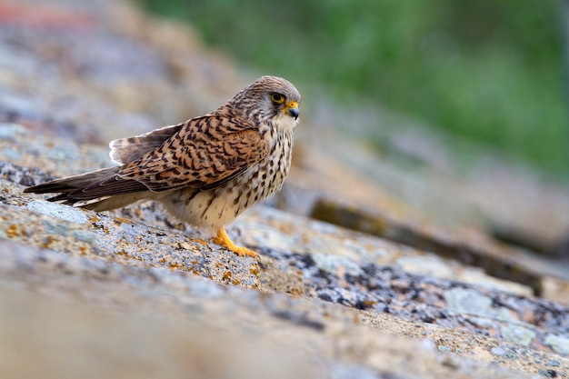 Fêmea de peneireiro, falcão, pássaros, raptor, falcão, falco naunanni