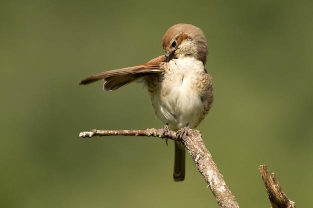 Fêmea de picanço-de-costas-vermelhas com última luz do dia em seu poleiro favorito