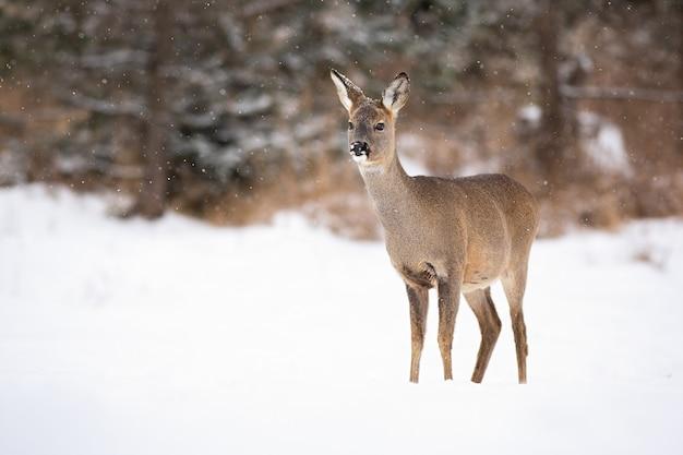 Fêmea de querida ova europeia em pé no clima de neve no prado