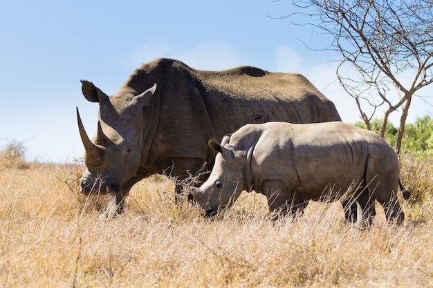 Fêmea de rinoceronte branco com cachorro, hluhluwe park, áfrica do sul.