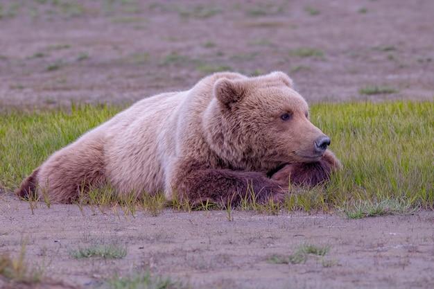Fêmea de urso pardo da península do alasca