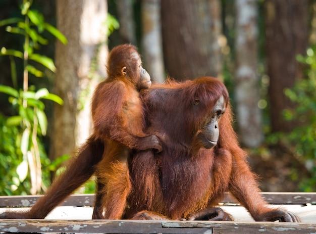 Fêmea do orangotango com um bebê está sentado em uma plataforma de madeira na selva. indonésia. a ilha de bornéu (kalimantan).