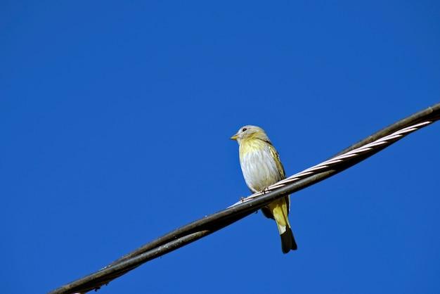 Fêmea do tentilhão amarelo açafrão no fio da rede elétrica