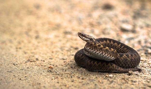 Fêmea marrom do adicionador europeu comum, vipera berus, deitado na estrada de areia