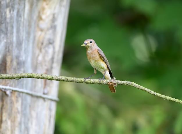 Fêmea o redstart comum (phoenicurus phoenicurus) baleado perto do ninho com filhotes