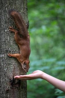 Feminino mão alimentando esquilo por nozes no parque