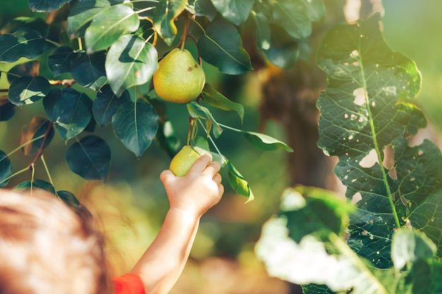 Feminino mão mostrando ramo com peras verdes na época da colheita do jardim
